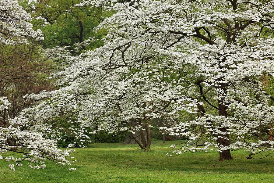 Abundance Photograph - Dogwood Tree In Full Bloom, Audubon by Adam Jones