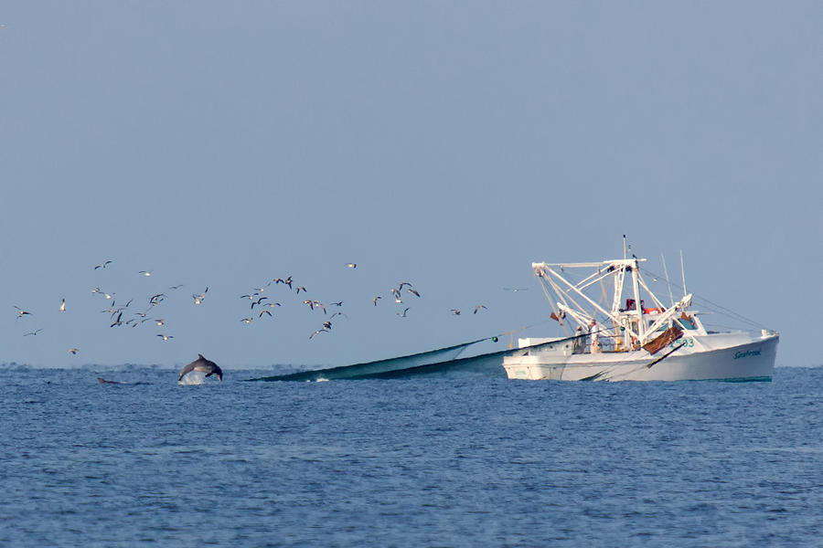Boat Photograph - Dolphin Chase by Alan Raasch