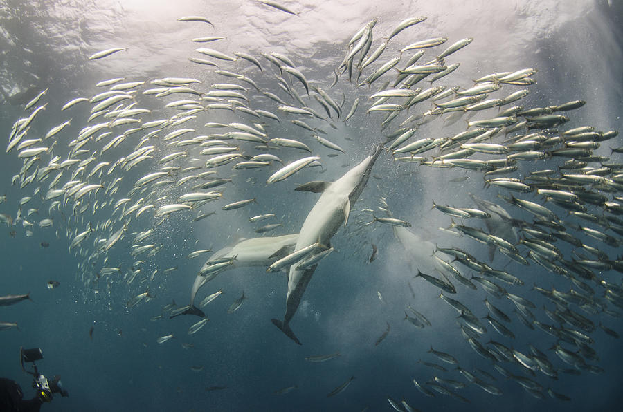 Dolphins Hunting Sardines Photograph by Pete Oxford