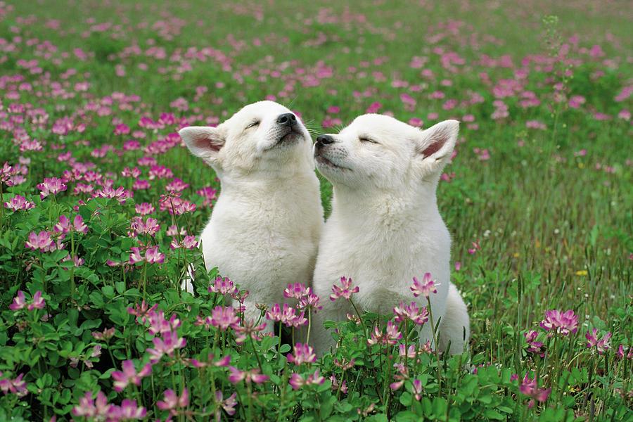 Np Photograph - Domestic Dog Canis Familiaris Puppies by Yuzo Nakagawa