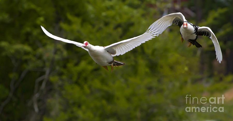 Domestic Muscovy Ducks In Flight 1137 Photograph By J L