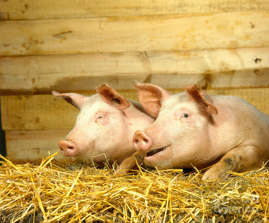 Pig Photograph - Domestic Pigs by Hans Reinhard