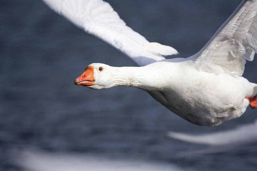 Anser Anser Photograph - Domesticated Goose In Flight by John Devries/science Photo Library