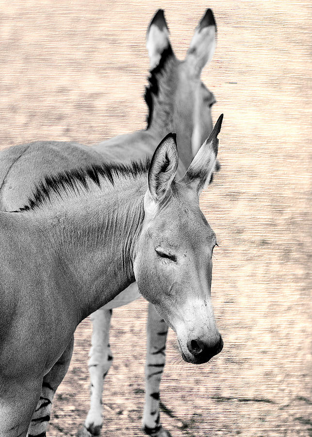 Donkey Photograph - Donkeyflected by Bill Tiepelman
