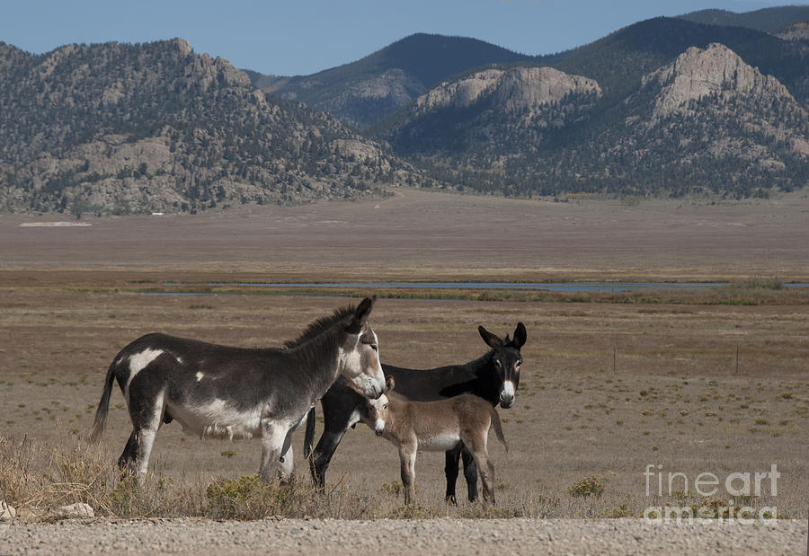 Animal Photograph - Donkeys In The Colorado Rockies by Juli Scalzi