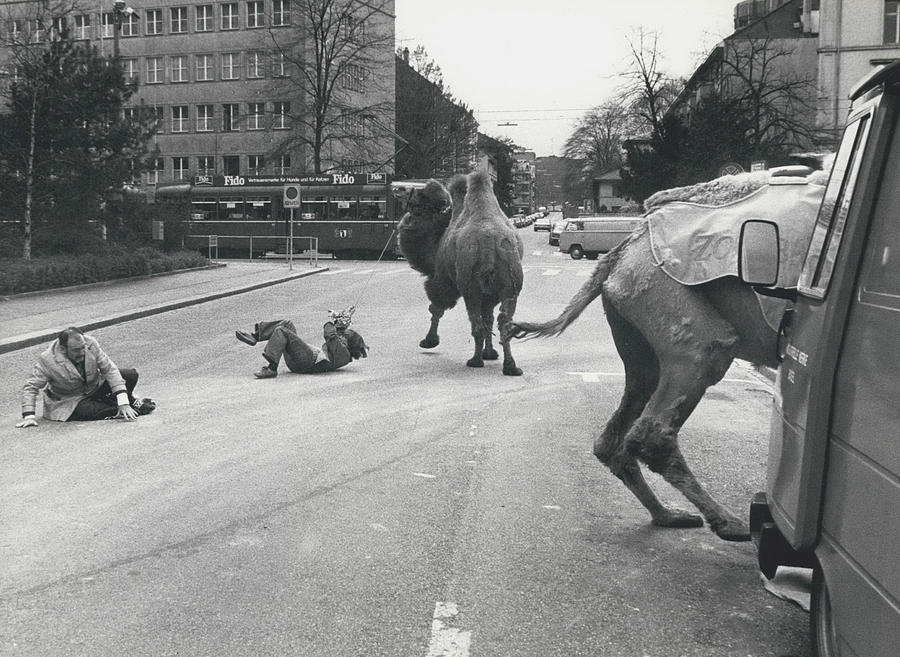 Retro Photograph - Don�t Move To New Address By Camels! by Retro Images Archive