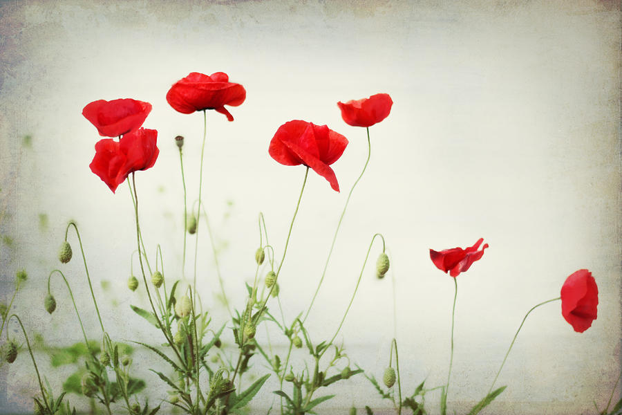 Poppy Photograph - Dorothy by Amy Tyler