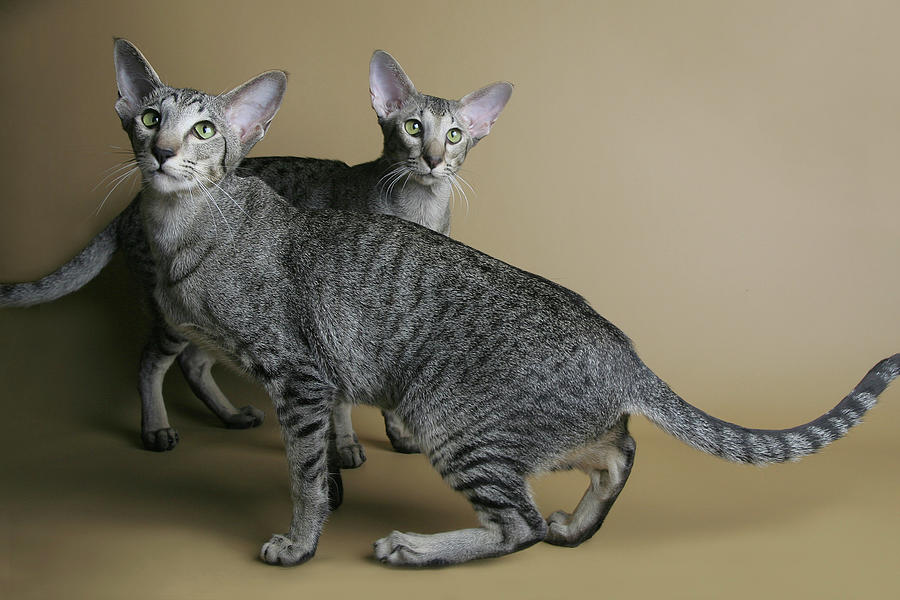 Dotted Oriental Cats Dancing Photograph by Jehandmade