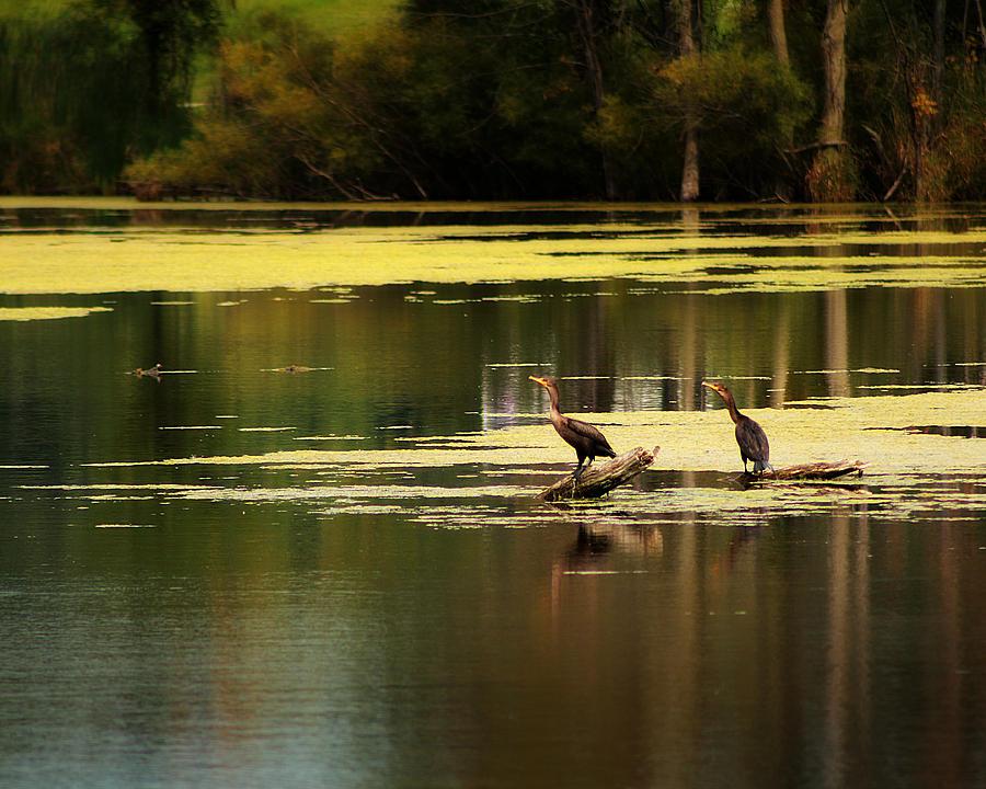 Hovind Photograph - Double Crested Cormorants by Scott Hovind