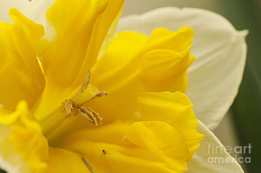 Nature Photograph - Double Daff by Larry Ricker