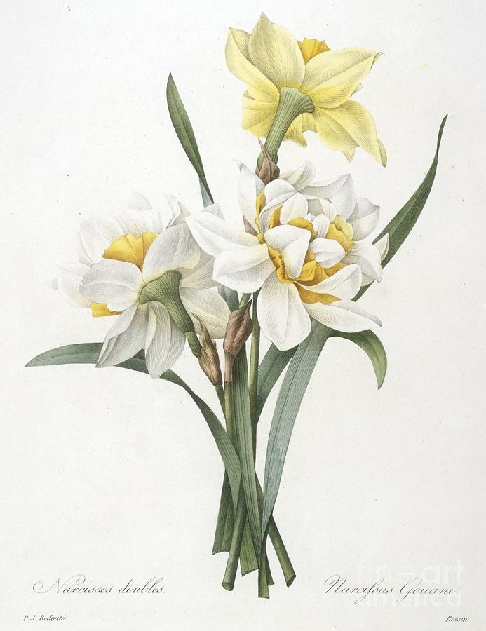 Floral Painting - Double Daffodil by Pierre Joseph Redoute