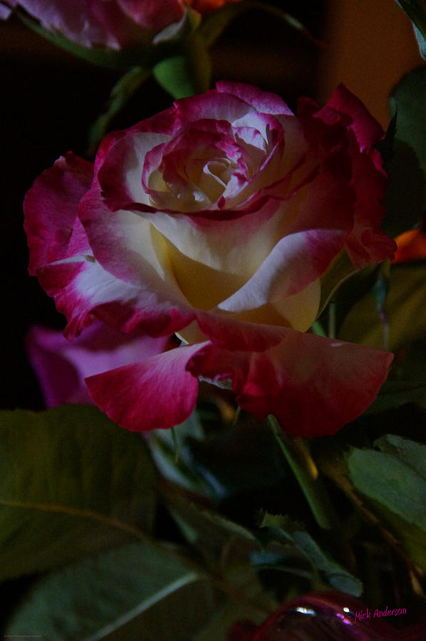 Rose Photograph - Double Delight at Night by Mick Anderson