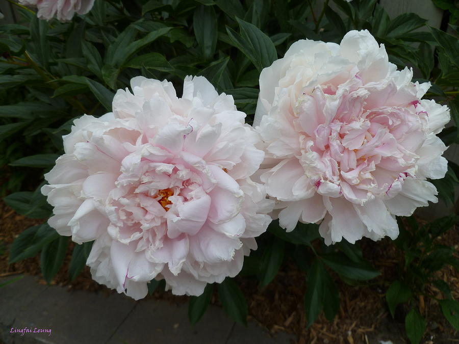 Peony Flowers Photograph - Double Delight by Lingfai Leung