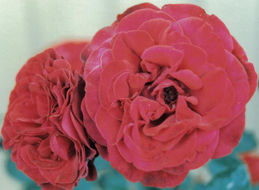 Rose Photograph - Double Desert  Red Roses by Dusty Rose