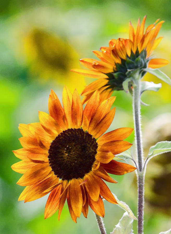Sunflower Photograph - Double Dose Of Sunshine by Jordan Blackstone