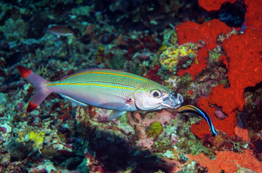 Animal Photograph - Double-lined Fusilier With Cleaner Wrasse by Georgette Douwma/science Photo Library