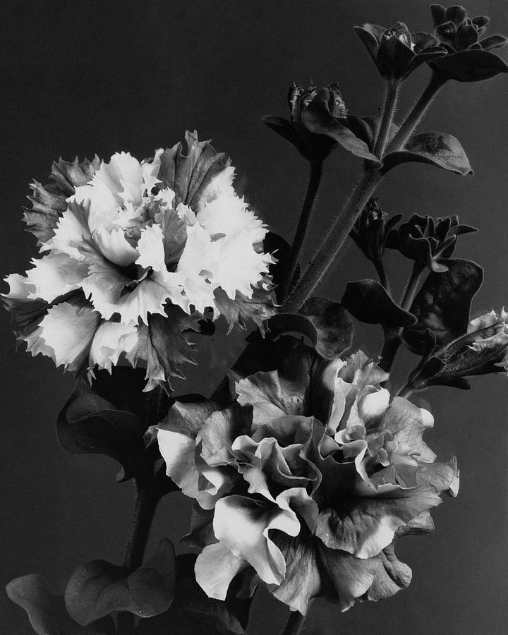 Double Petunias Photograph by J. Horace McFarland