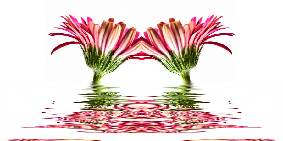 Pink Photograph - Double Pink Gerbera Flood by Steve Purnell