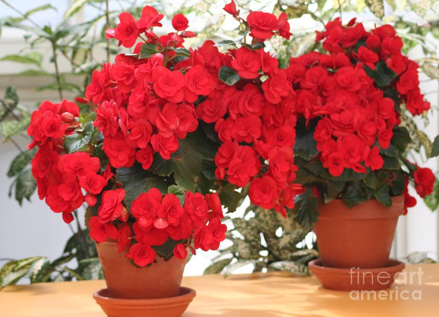 Double Red Begonias Photograph