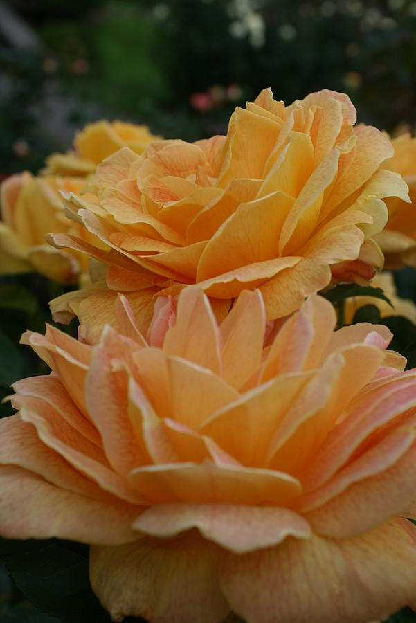 Yellow Roses Photograph - Double Trouble In Bloom by Jacqueline Russell