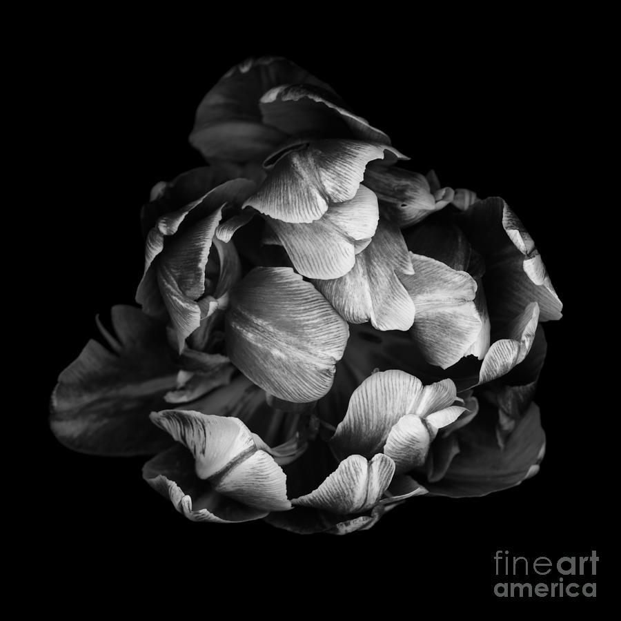 Black Photograph - Double Tulip by Oscar Gutierrez