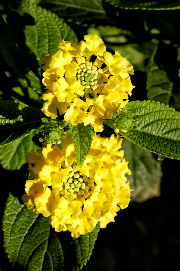 Flower Photograph - Double yellow by Goyo Ambrosio
