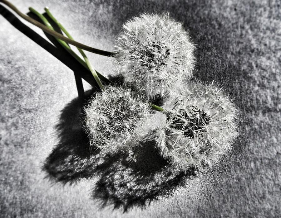 Dandelion Photograph - Doubled Wishes by Marianna Mills