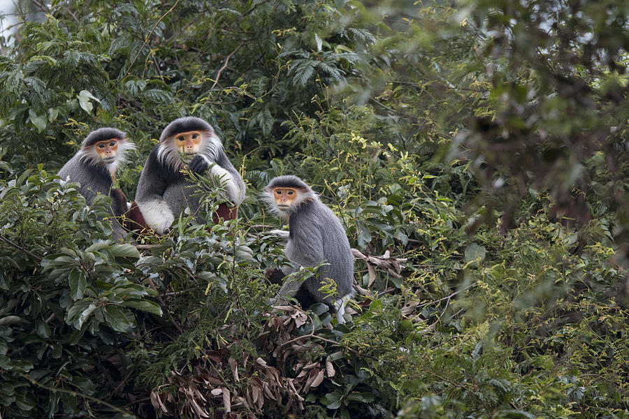 Douc Langur Male And Females Vietnam Photograph by Cyril Ruoso