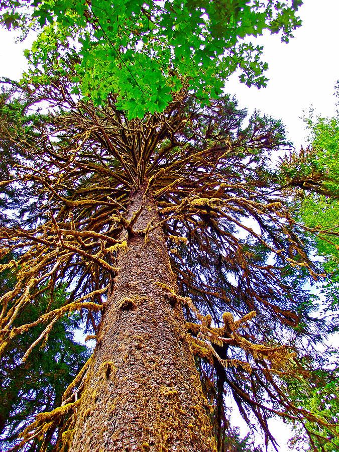 Douglas Fir In Hoh Rain Forest In Olympic National Park ...  Douglas Fir Forest