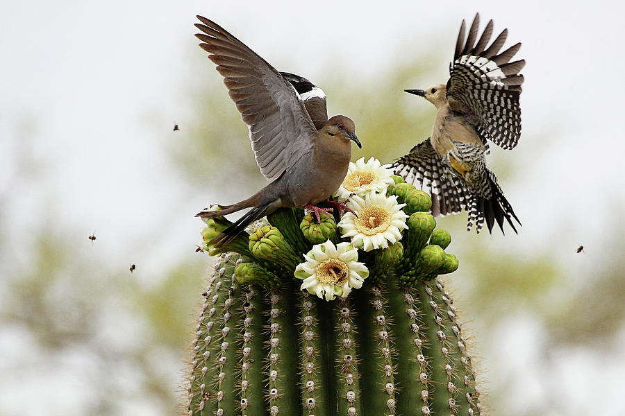 Dove And Woodpecker On Blooming Saguaro Photograph by Barbaracarrollphotography