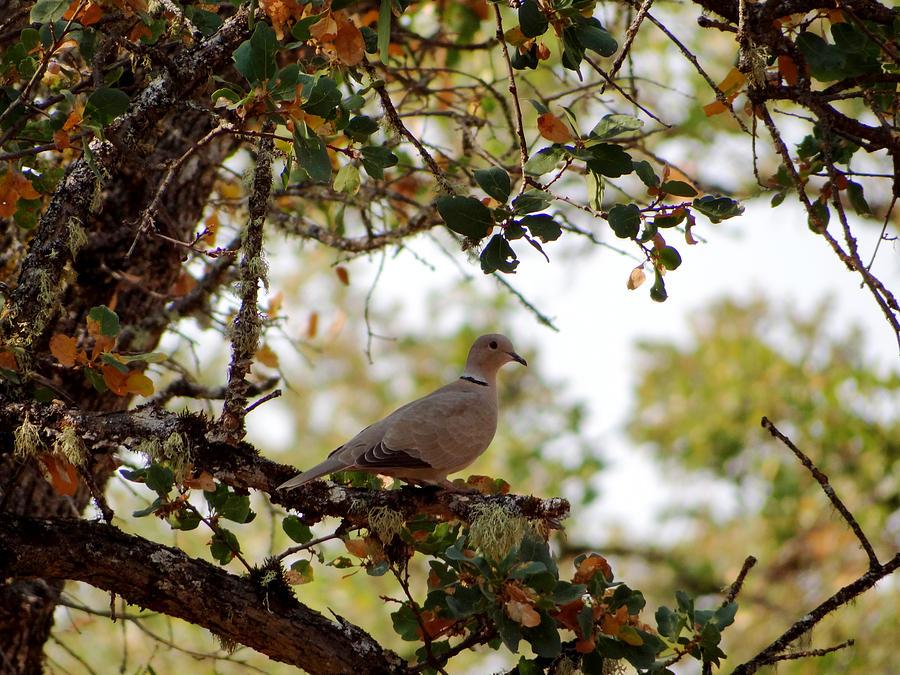 Dove Photograph - Dove in Autumn Oak Tree Lower Lake CA by G Matthew Laughton