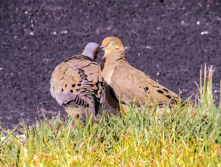 Love Birds Photograph - Doves Kisses by Zina Stromberg