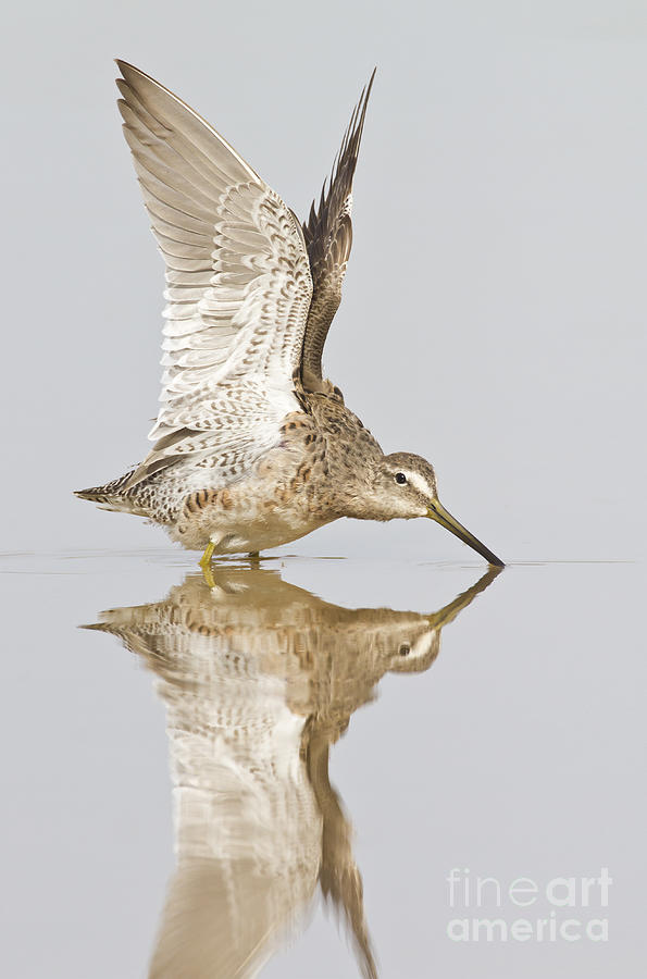 Dowitcher Photograph - Dowitcher Wing Stretch by Bryan Keil