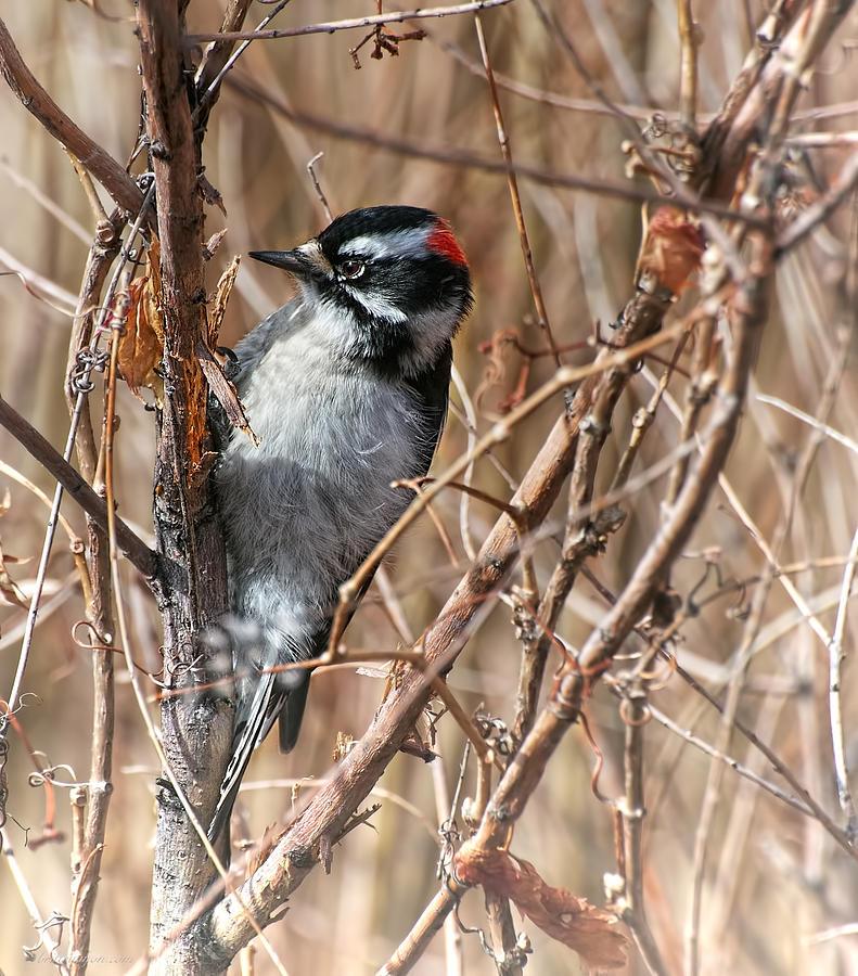Bird Photograph - Downy Woodpecker by Britt Runyon