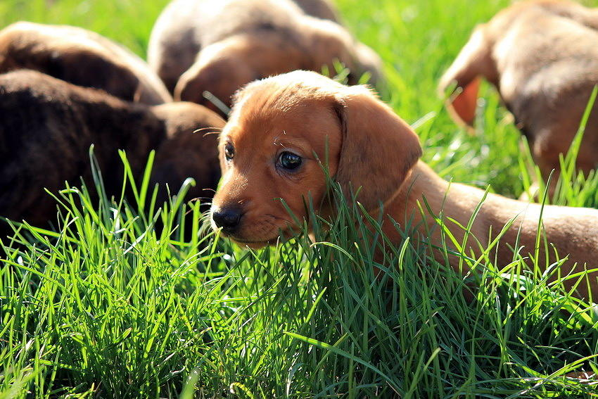 Dachshund Photograph - Doxies by Velvetdawn Custer