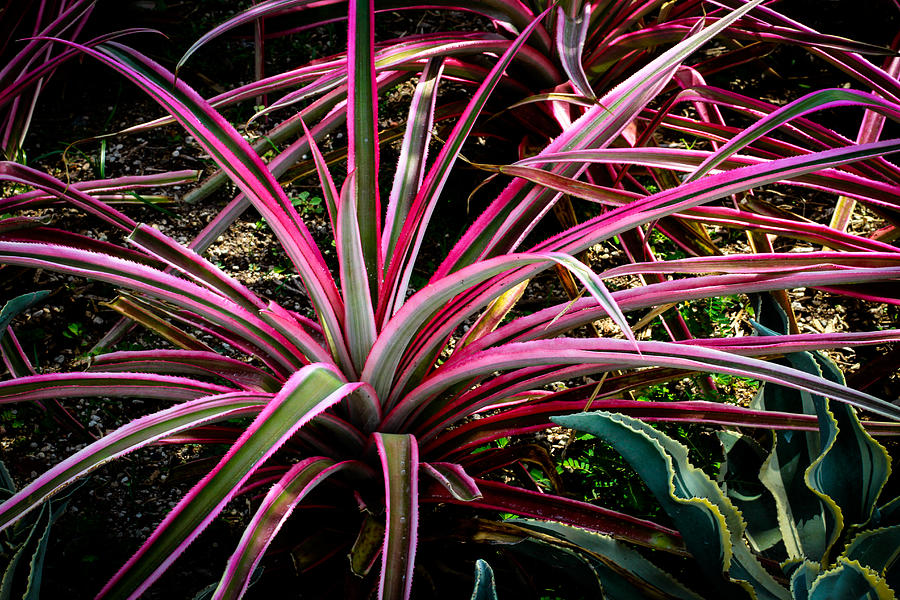 Madagascar Dragon Tree Photograph - Dracaena Marginata Colorama Singapore Plant by Donald Chen