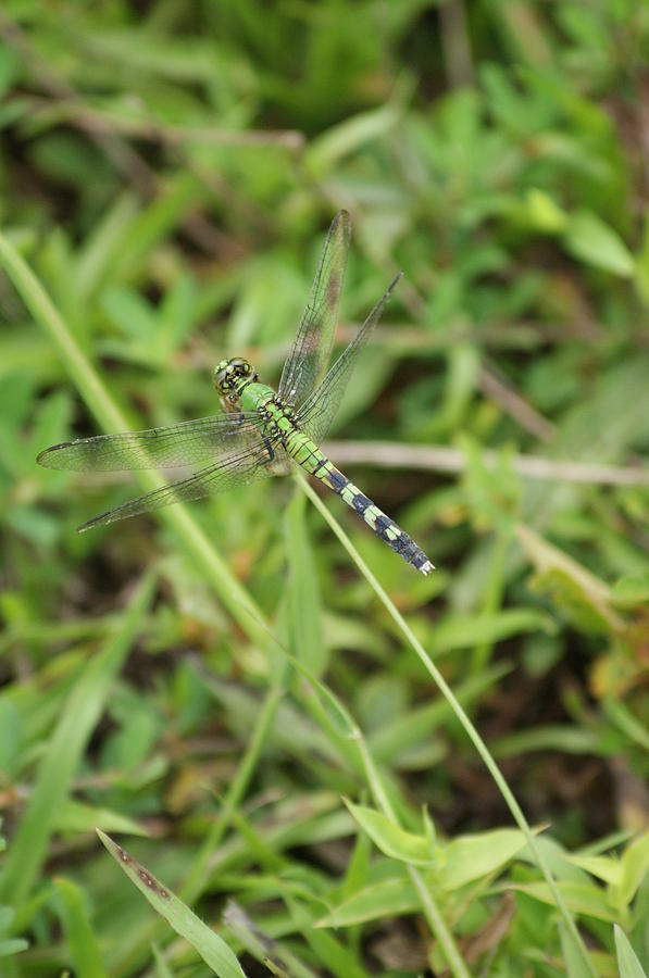 Nature Photograph - Dragon Fly by Heidi Poulin