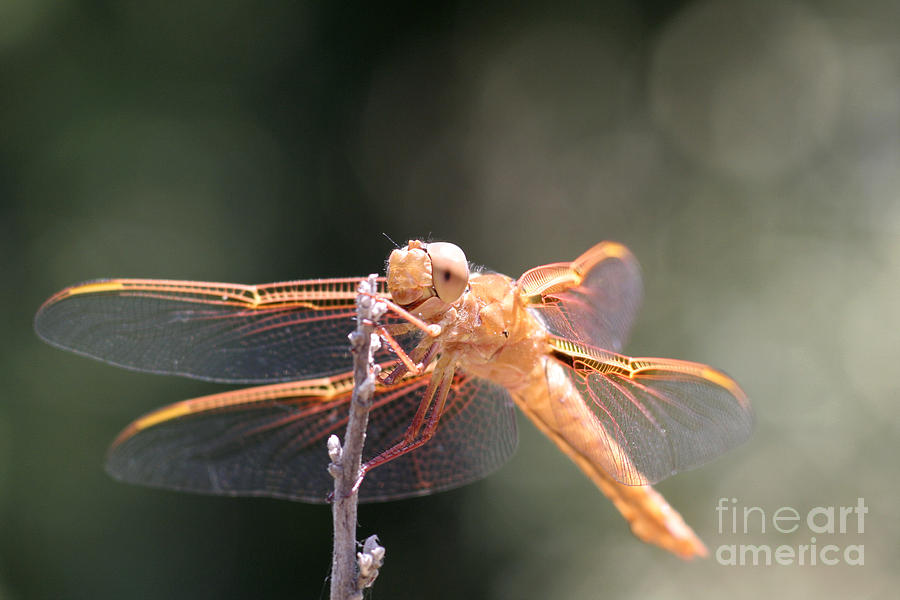 Dragonfly Photograph - Dragon Fly by Laura Paine