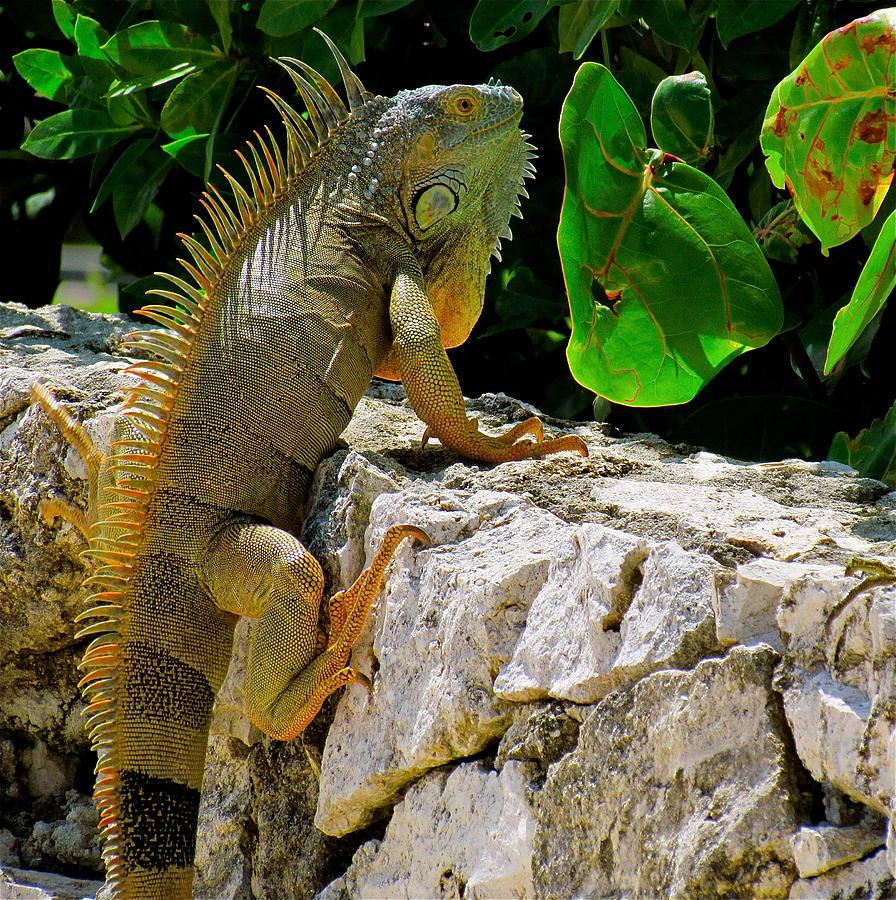 K Dragon Lizard Dragon Lizard P...