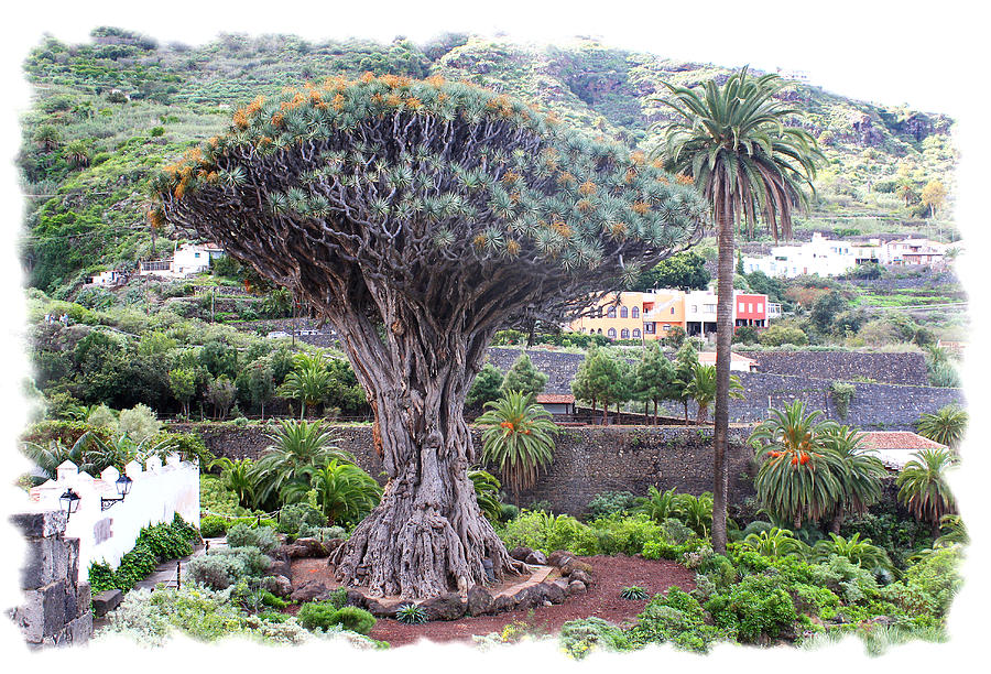Tenerife Photograph - Dragon Tree by Ha Ko