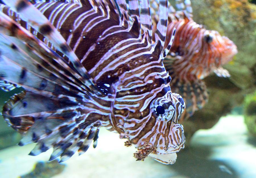 Dragonfish Photograph - Dragonfish In Tandem by Sandi OReilly