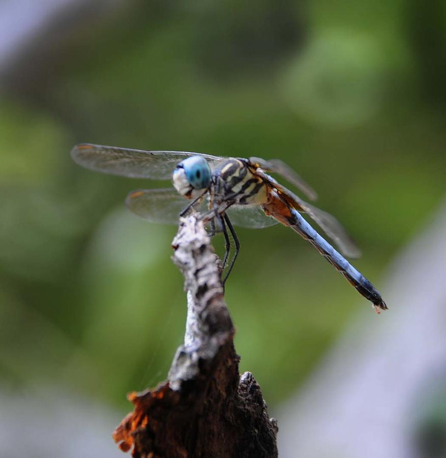 Dragonfly Photograph - Dragonfly 02 by Leon Hollins III