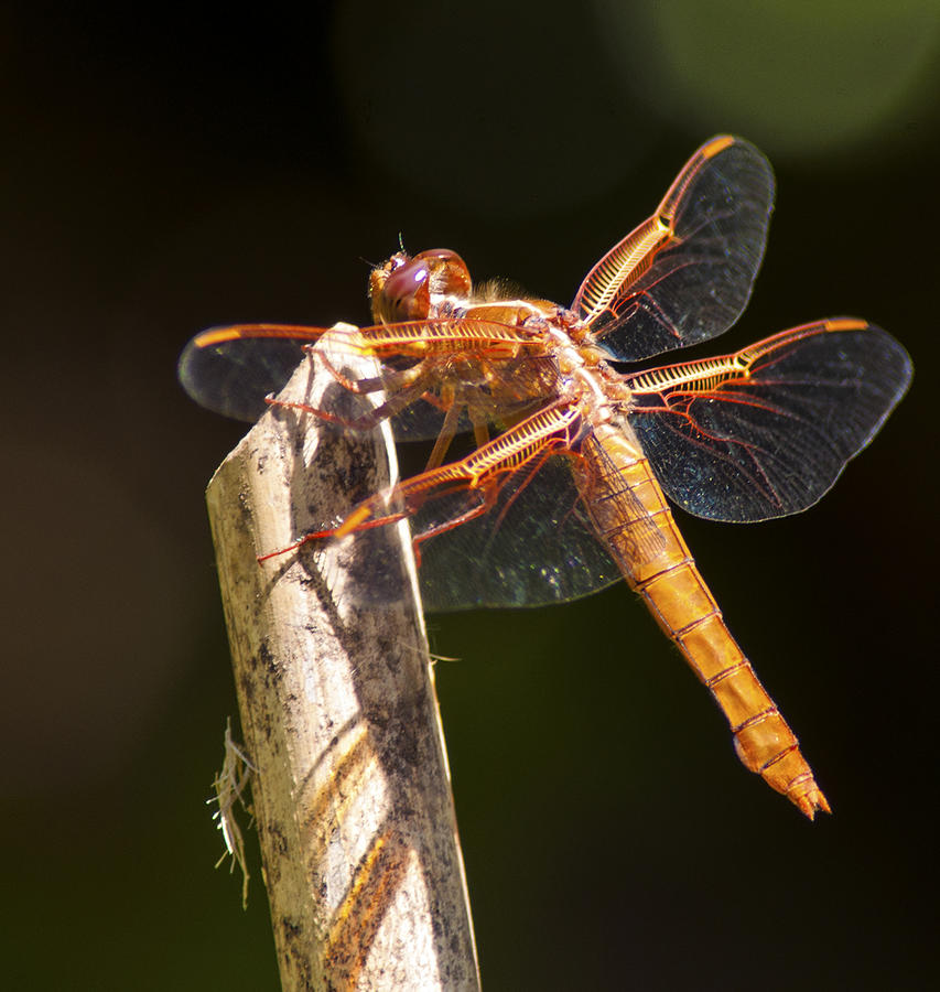 Dragonfly Photograph - Dragonfly 1 by Scott Gould