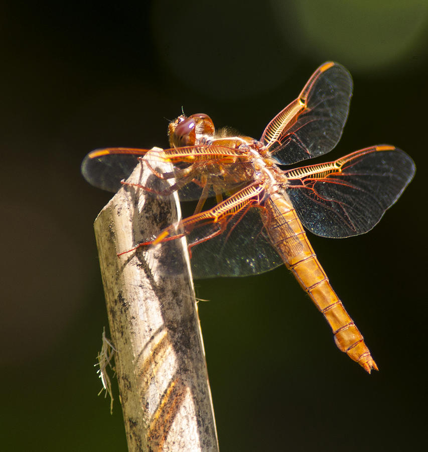 Dragonfly Photograph - Dragonfly 3 by Scott Gould