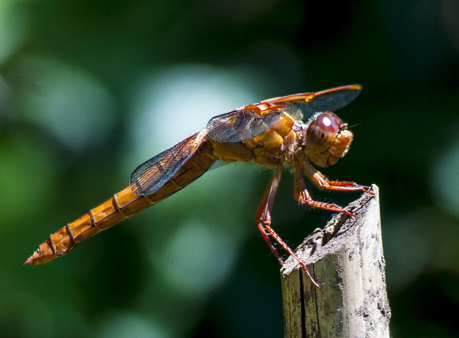 Dragonfly Photograph - Dragonfly 4 by Scott Gould