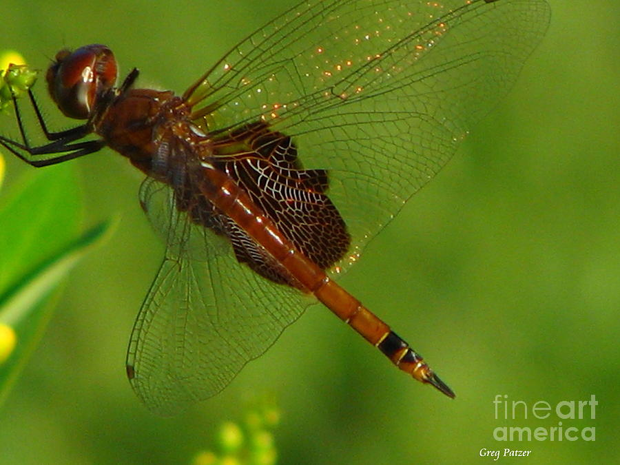 Iridescent Photograph - Dragonfly Art 2 by Greg Patzer