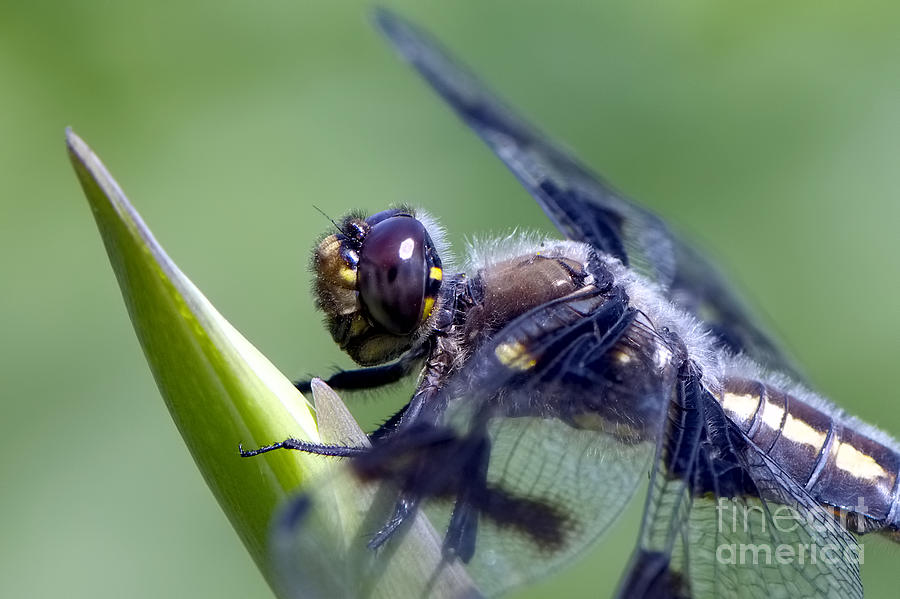 Dragonfly Photograph - Dragonfly Closeup by Sharon Talson