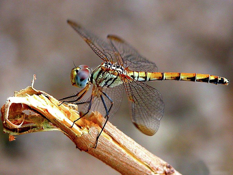 Macro Photograph - Dragonfly by Graham Taylor