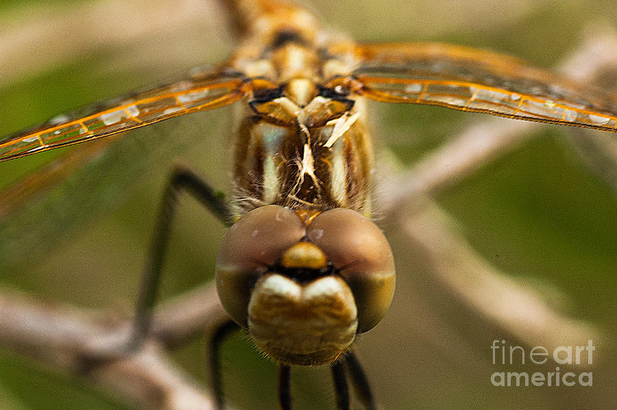 Dragonfly Head Photograph - Dragonfly Head by Mae Wertz