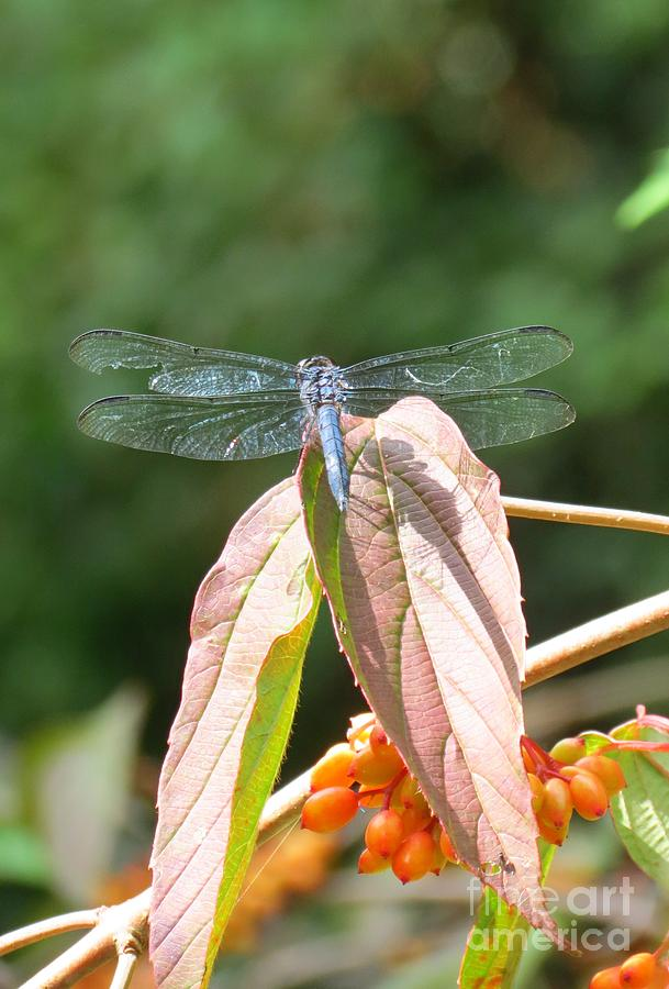 Dragonfly Photograph - Dragonfly In Early Autumn by Anita Adams